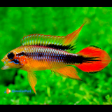 2 Apistogramma Agassizi Super red (coppia)
