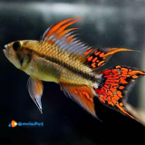 2 Apistogramma Cacatuoides Double Red (coppia)