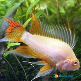 2 Apistogramma Cacatuoides Gold Red (coppia)