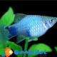 Xiphophorus maculatus Platy Blu Michey mouse 3-4cm 6pz.