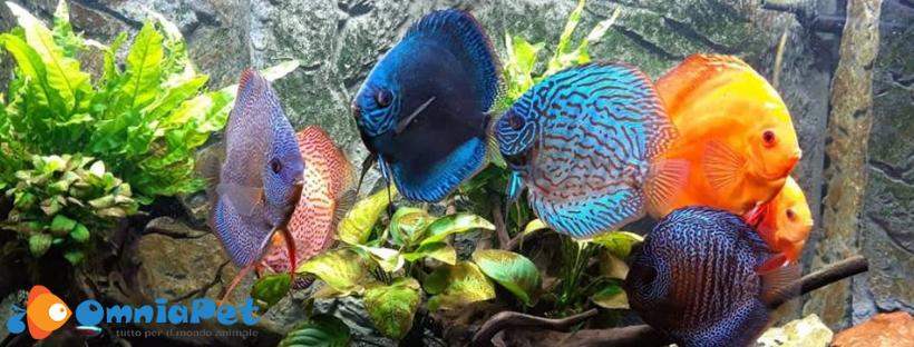 Tempi e modi per popolare in sicurezza un'acquario per Discus.